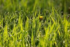 Dauw in groen gras in de vroege ochtendzon Stock Foto