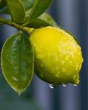 Dauw op citroen 01 Royalty-vrije Stock Afbeelding