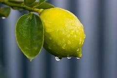 Dauw op citroen 02 Royalty-vrije Stock Foto's