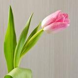 Dauw op de roze bloem Stock Afbeeldingen
