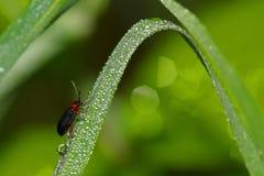 Dauw op een insect op een bundel van gras Stock Afbeeldingen