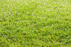 Dauw op gras in de ochtend Royalty-vrije Stock Fotografie