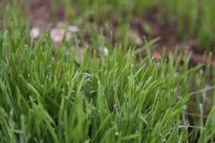 Dauw op het gras royalty-vrije stock fotografie