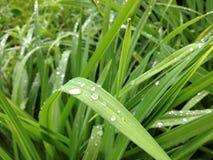 Dauw op het gras Stock Afbeelding