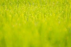 Dauw op rijst Stock Foto
