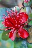 Dauwdaling op een bloemblaadje van de feijoabloem stock foto's