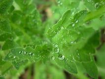 Dauwdalingen bij groene bladeren Royalty-vrije Stock Foto