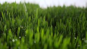 Dauwdalingen in lichten op groen gras in de ochtend stock footage