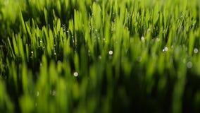 Dauwdalingen in lichten op groen gras in de ochtend stock video