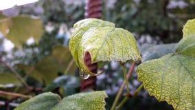 Dauwdalingen op bladeren, op een zachte lichtgroene achtergrond Ronde transparante daling van water op een blad stock fotografie