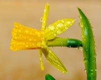 Dauwdalingen op bloemknoppen stock foto's