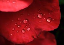 Dauwdalingen op de bladeren van rode rozen Stock Foto