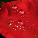 Dauwdalingen op de bladeren van rode rozen Stock Afbeeldingen