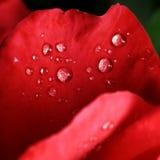 Dauwdalingen op de bladeren van rode rozen Royalty-vrije Stock Afbeeldingen