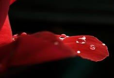 Dauwdalingen op de bladeren van rode rozen Stock Fotografie