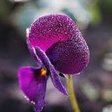 Dauwdalingen op de bloem van Altviooltricolor Royalty-vrije Stock Foto's