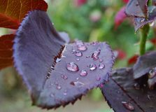 Dauwdalingen op een bloem na de regen Stock Foto