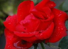 Dauwdalingen op een bloem na de regen Stock Fotografie