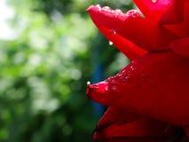 Dauwdalingen op een bloem na de regen Royalty-vrije Stock Foto