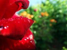 Dauwdalingen op een bloem na de regen Stock Afbeeldingen