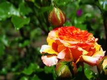 Dauwdalingen op een bloem na de regen Royalty-vrije Stock Foto's