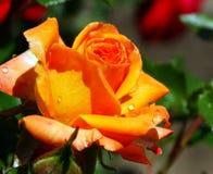 Dauwdalingen op een bloem na de regen Stock Afbeelding