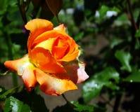 Dauwdalingen op een bloem na de regen Royalty-vrije Stock Afbeeldingen
