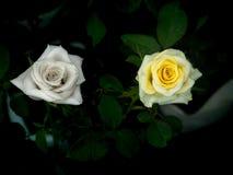 Dauwdalingen op Gele Rose Flower royalty-vrije stock afbeeldingen