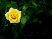 Dauwdalingen op Gele Rose Flower royalty-vrije stock foto's