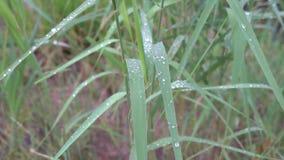 Dauwdalingen op gras na regen 4k stock video