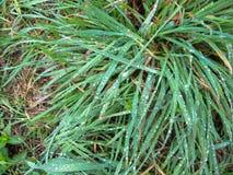 Dauwdalingen op groen gras stock afbeeldingen