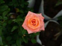 Dauwdalingen op Roze Gele Rose Flower stock afbeeldingen