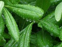 Dauwdruppels op de Groene Bladeren Royalty-vrije Stock Afbeelding