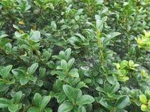 Dauwdruppels op de groene bladeren en het spinneweb Stock Fotografie