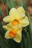 Dauwdruppels op Gele narcissen Royalty-vrije Stock Afbeeldingen