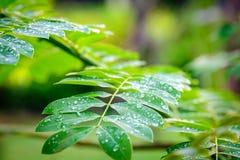 Dauwdruppeltjes op groene bladeren, waterdalingen na regen Groen blad Royalty-vrije Stock Foto