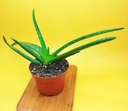 Aloe Vera Barbadensis royalty free stock photos