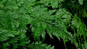 Davallia fern on dark background. Davallia fern in the other species in contrast background Stock Image