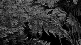 Davallia fern on gray scale background. Davallia fern in the other species in contrast background Royalty Free Stock Photography
