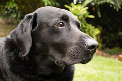 Dave The Black Labrador Images libres de droits