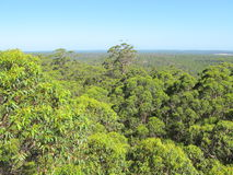 Dave Evans Bicentennial Tree, in Warren National Park, Western  Australia Royalty Free Stock Image