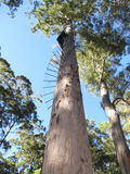 Dave Evans Bicentennial Tree, in Warren National Park, Western  Australia Royalty Free Stock Photo