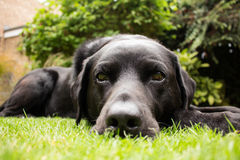 Dave The Labrador Retriever Photos libres de droits