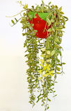 Dave ornamentacyjna roślina Zdjęcia Stock