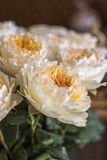 David austin rose. Nice david austin roses peach colour Stock Photography