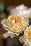 David austin rose. Nice david austin roses peach colour Royalty Free Stock Photography