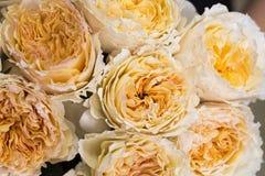 David austin rose. Nice david austin roses peach colour Stock Image