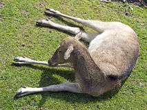 david davidianus jeleni elaphurus latin imienia pere s Fotografia Royalty Free