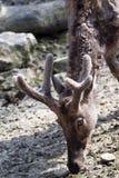 david davidianus jeleni elaphurus pere s Fotografia Royalty Free