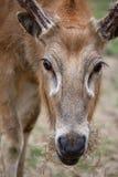 david jeleni pere profil s Obrazy Royalty Free